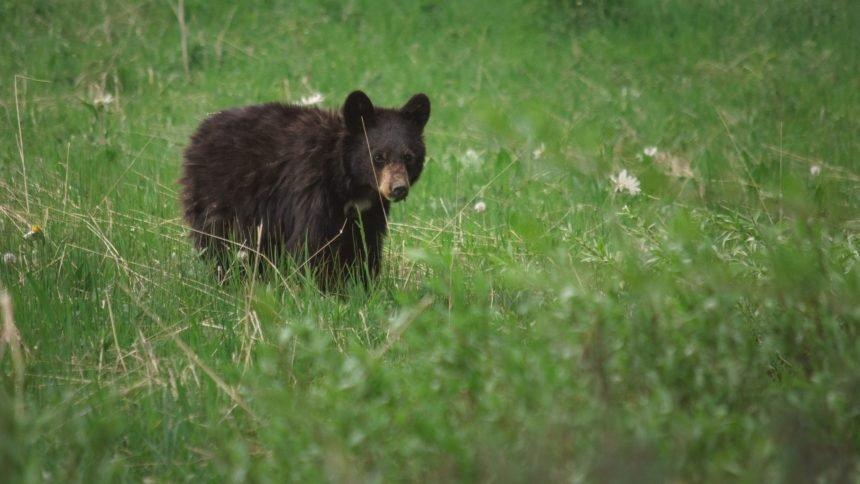 black bear cub Cropped