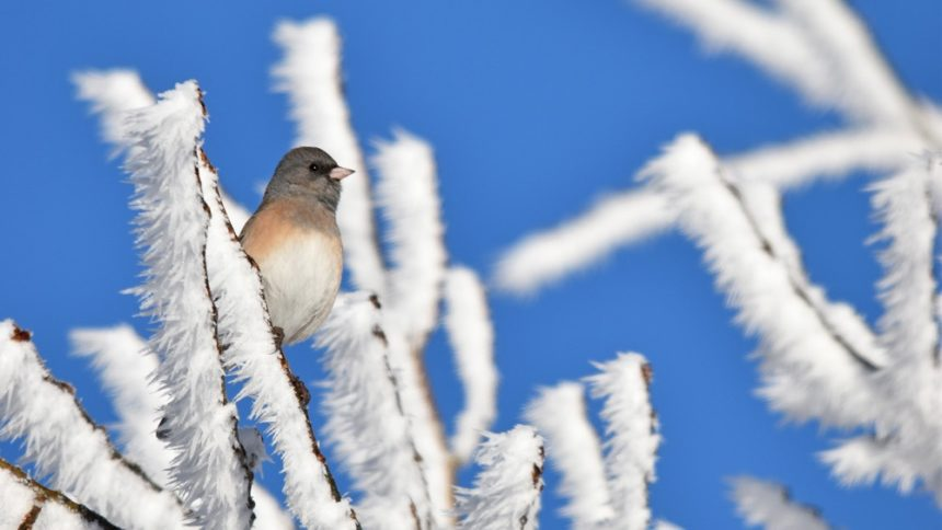 junco Cropped