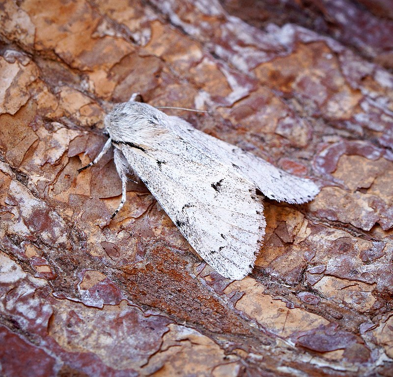 miller moth Ben Sale