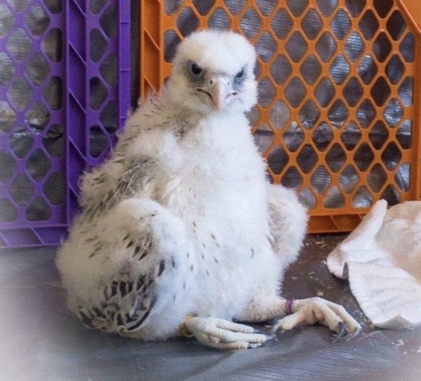 new falcon mascot