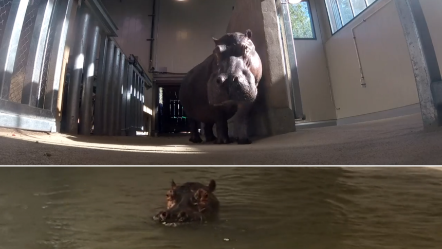 biko the hippo