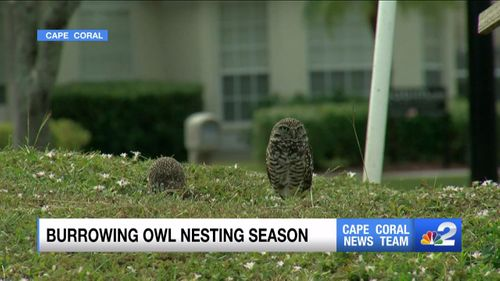 Nesting Season Underway For Cape Coral Burrowing Owls Krdo