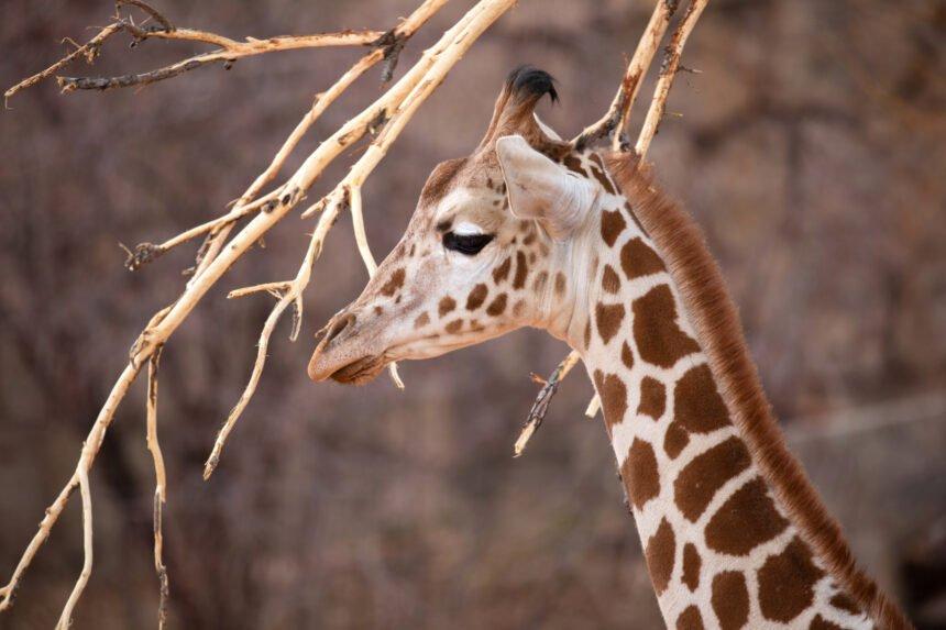 CMZoo Giraffe Viv