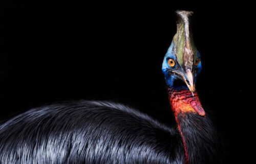 A cassowary can be aggressive